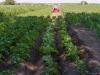 Kartoffel duengen und anpfluegen